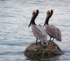 Pelicans - Loreto, Mexico (ex_magician) Tags: pictures beach pelicans mexico lumix photo interesting image photos picture pelican panasonic adobe baja loreto brownpelican seaofcortez lightroom moik adobelightroom innatloretobay tz5 dmctz5