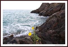 MARGARITAS ENTRE MARES (antonioanvie) Tags: flores mar murcia animales toro margaritas playas rocas pavos fotografias mazarron bolnuevo elleontranquilo