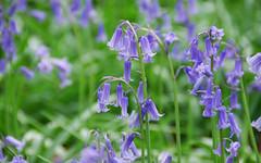 English Bluebells (Wood Hyacinth), Wendover Woods, Buckinghamshire; UK (jahed91) Tags: screensavers