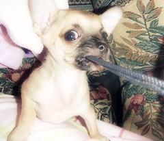 vicious dog (-S T E P H A N I E(:) Tags: camera dog chihuahua vicious shortarms