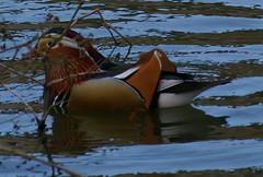 Mandarin(Aix galericulata) (John D Hardy) Tags: nottinghamshire clumberpark