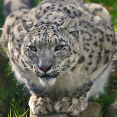 Snow Leopard (Gary Wilson แกรี่ วิลสัน) Tags: ireland snow nature animal canon mammal eos wildlife leopard bigcat panther phoenixpark dublinzoo 50d