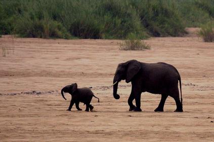 Savanna elephant (Loxodonta african), Baby elephant