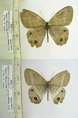 Splendeuptychia clementia