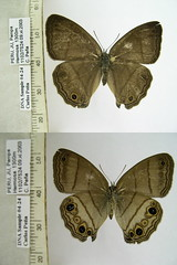 Euptychoides spn1
