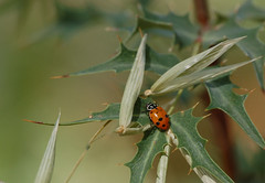 Ladybug for First Leaf....hope it is native. I beleive it is Hippodamia convergens - Convergent Lady Beetle (gatespassbear) Tags: arizona nature animal yard bug insect desert tucson wildlife beetle ladybug sonoran