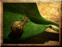 golden snail (Mara ~earth light~) Tags: wood texture nature photoshop gold snail creativecommons gems ramson naturesfinest anawesomeshot memoriesbook nflorence2012 artistictreasurechest