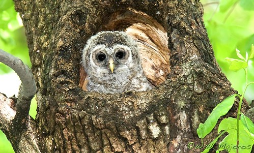 barred-owl-chick-6b