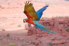 macaw in flight (Dave Womach) Tags: pink blue red green bird birds yellow outside outdoors grey fly utah flying ut colorful towers flight free parrot smith fisher flies moab chex bandit hybrid macaw jeanne flu parrots sher harlequin macaws galahs galah freeflying freeflight solorful jamieleigh colofrf