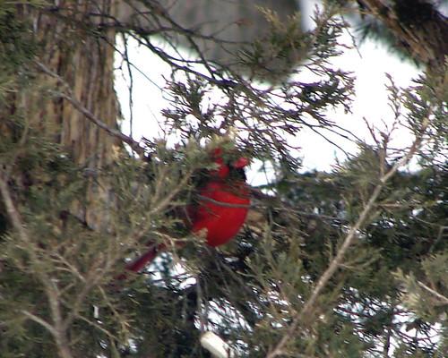 male cardinal cedar