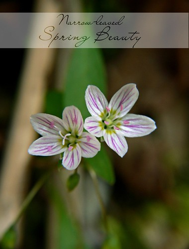Narrow-leaved Spring Beauty