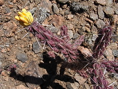 Cholla Fruit (Santa Fe, New Mexico, United States) Photo