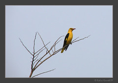 Golden Oriole (rohini_kamath) Tags: wild copyright india bird nature golden bangalore karnataka avian oriole rohini kamath bagmane techpark ifornature rohinikamath