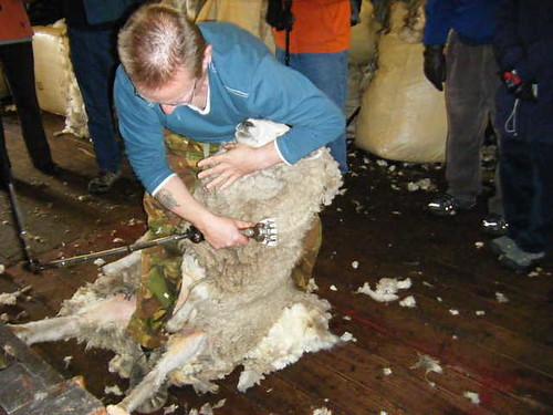 Falkland Shearing1