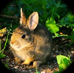 DSC_1946 (fotos by greg) Tags: summer bunnies animals nikon babies rabbits d300