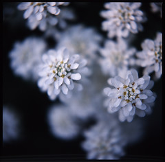 (rosemary*) Tags: white flower hasselblad 2009 iberis