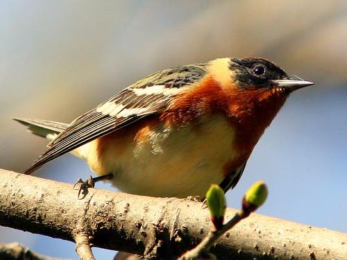 Bay-breastedWarbler 20090502