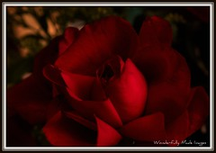 Deep, Dark and Mysterious (Wonderfully Made Images) Tags: flowers roses floral dark texas artistic quote mysterious blooms canon40d wonderfullymadeimages