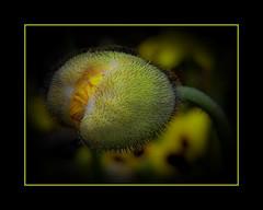 cadrageRIMG0859-2 (claudedelrieu21) Tags: macro nature fleur photography amazing fabulous bourgogne finest pictureperfect coquelicot excellence damncool smorgasbord pavot masterclass miltoniopsis blueribbonwinner encarnado supershot amazingtalent amazingshot flowerotica fantasticflower fineartphotos abigfave nikoniste platinumphoto anawesomeshot impressedbeauty flickrbest flickrplatinum ultimatshot superbmasterpiece naturefinest infinestyle diamondclassphotographer flickrdiamond ysplix ilovemypic flickrelite theunforgettablepictures masterphoto overtheexcellence macromix excellentphotgrapherawards theperfectphotographer floweria goldstaraward naturemasterclass macroflowerlovers montijoverdeamarelo excellentsflowers top20vivid superbmacroflowers natureelegantshots thepoweroftheflower auniverseofflowers awesomeblossoms vosplusbellesphotos goldenvisions