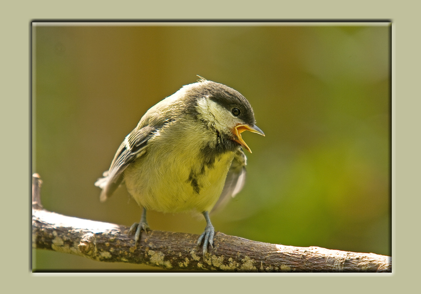 Great Tit Fledling a