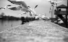 ...and flight path... (cHr1st1an S images) Tags: city sea italy seagulls white black film birds analog 35mm fly blackwhite nikon mare village seagull gull flight uccelli volo ferrara analogue fm bianco nero flick gabbiani gabbiano biancoenero analogic comacchio film35mm volare fm3 analogico flyingbird blackwhitephotos nikonfm3 autaut gnneniyisithebestofday chr1st1ans evolovia andflightpath christiansorrentino