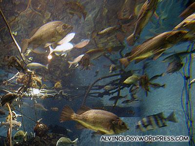 Freshwater Amazon fish