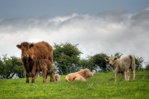 Irish Cows: Distrustful