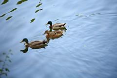 Escort (bl) Tags: lake water animals iso100 meer ducks dieren lightroom eenden canoneos5d mortsel treesandplants ef70200mmf4lusm bomenenplanten 1100secatf40