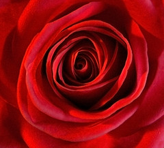 Drawn into the centre (pdjsphotos) Tags: red floral rose whirlpool fantasia