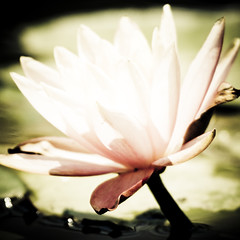 Water lily (ddsnet) Tags: plant flower water waterlily lily sony hsinchu taiwan 350 aquatic   aquaticplants         sinpu hsinpu  quotwater tetragona water lightroompresets   lilyquot 350 lily plantsquot  nymphaeatetragona    plants flowerinjapan nymphaeatetragon quotaquatic quotnymphaea tetragonaquot aquatic nymphaea tetragona plantsnymphaea