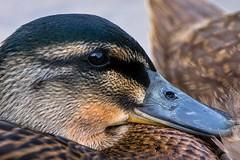 Young Mallard Relaxing (pheαnix) Tags: park bird duck g sony mallard delaware ssm a700 70400mm