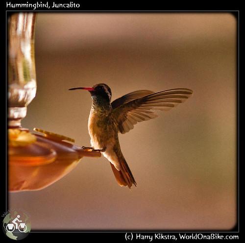 Hummingbird, Juncalito