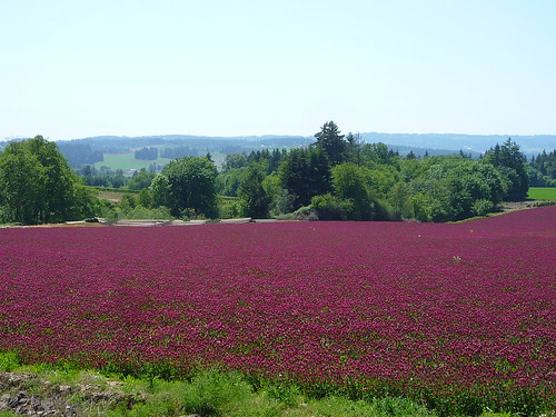 red clover, red clover