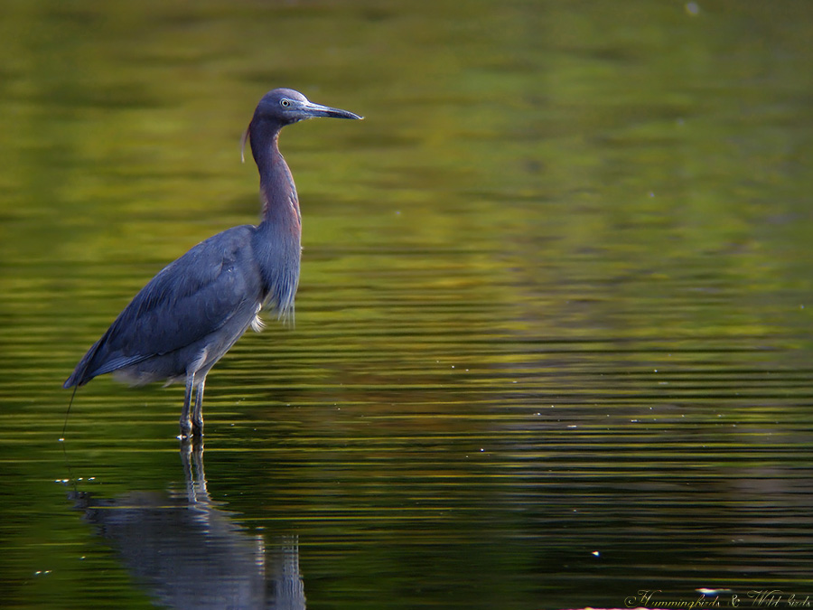 little-blue-heron-c