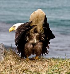 Wildlife... as Canon never sees it. (heritagefutures) Tags: usa bird alaska canon photography flying eagle symbol wildlife bald off national raptor take moment ornithology rare weight aleutians cloaca reduction adak