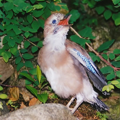 Eurasian Jay: Maaama ... where are you ??? (Batikart ... handicapped ... sorry for no comments) Tags: blue brown green slr bird nature animal closeup fauna forest germany garden deutschland leaf bush flora europa europe minolta natur young f100 grn braun blau blatt garten 2009 nahaufnahme tier vogel busch niedersachsen lowersaxony damme eurasianjay garrulusglandarius corvidae rabenvogel spiegelreflex junges eichelhher 100faves singvogel specanimal viewonblack hher batikart sperlingsvogel 201111