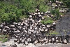...Some of the estimated 40,000 animals that crossed while we watched. (karenpeacock) Tags: africa crossing kenya safari gnu rivercrossing wildebeest masaimara marariver masaimaranationalreserve connochaetestaurinus