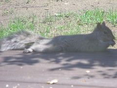 spoiled... (Beyond.the.Box) Tags: red summer tree nature photography backyard squirrel squirrels gray nuts peanuts stump sensational treestump redsquirrel graysquirrel thinkoutsidethebox thinkoutsidethebox2008