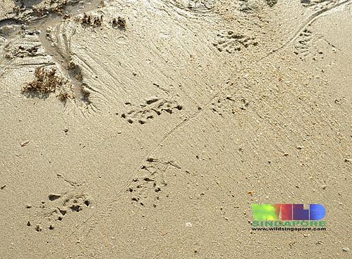 Sand tracks: Malayan water monitor (Varanus salvator)?