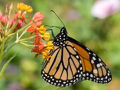 Monarch Standard Desktop Wallpaper (MissouriConservation) Tags: desktop wallpaper portrait usa butterfly insect missouri feed standard 43 paintedlady crestwood 1600x1200