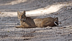 Florida Bobcat (minds-eye) Tags: nature cat wildlife panthers prey bobcat biodiversity guana gtmnerr