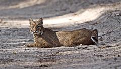 Florida Bobcat (minds-eye) Tags: nature cat wildlife panthers prey bobcat biodiversity guana gtmnerr