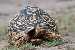 Leopard Tortoise Speeding Through The Bush (Hector16) Tags: africa botswana geochelonepardalis kingspool linyanti linyantiwildlifereserve ng15 potofgold safari gettyimages getty images