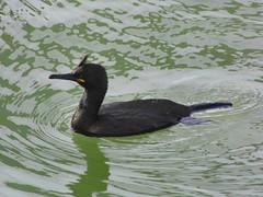 Shag study (siaronj) Tags: bird water shag