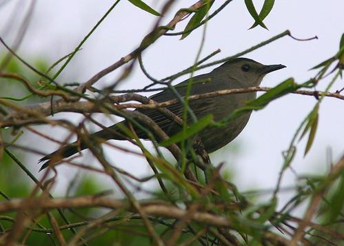 Catbird 20090216