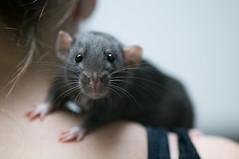 [フリー画像] [動物写真] [哺乳類] [小動物] [ネズミ上科] [ラット]      [フリー素材]