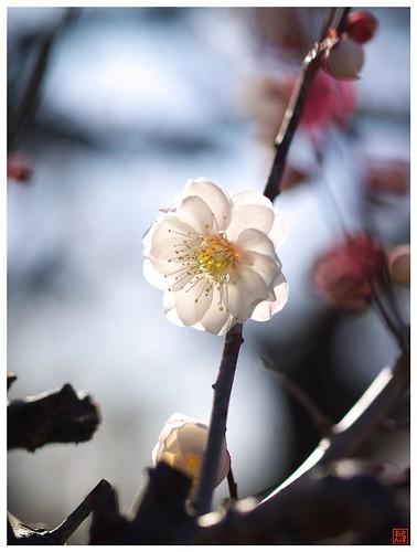 Japanese Apricot 090303 #01
