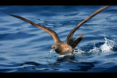 Wedge-tailed Shearwater, February Wollongong Pelagic, 28.2.09ab (Tobias Hayashi Photography) Tags: ocean sea food brown bird water spread wings movement flight australia nsw fighting seabird wollongong wedgetailedshearwater puffinuspacificus wedgetailed berley sigma50500mmf463 canoneos40d procellariformes globalbirdtrekkers vosplusbellesphotos februarywollongongpelagic ardennapacificus