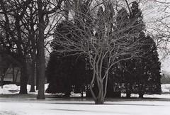the light among the dark (semievilsquirrel) Tags: trees winter 35mm minoltasrt101 blackwhitefilm efkekb400