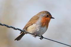 Bird on the Wire (Missy2004) Tags: bird robin newforest nikond60 pfogold pfosilver beautifulworldchallenges fotocompetitionbronze fotocompetitionsilver dennywoods nikkor70300mmf4556afsifedvr herowinner